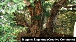 درخت ۵ هزارسالهای که تغییر جنسیت میدهد.