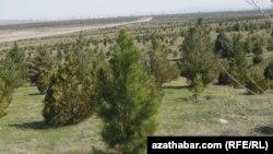 Aşgabat şäheriniň eteginde ekilen täze agaç nahallaryndan bir bölegi. Aşgabat, aprel, 2012.