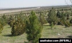Деревья, посаженные вокруг Ашгабата.