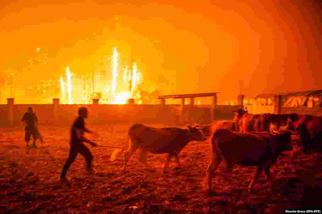 Men herd cattle during a forest fire in Vieira de Leiria, Marinha Grande, Portugal, on October 16. At least 27 people have been killed in the wave of wildfires. (epa-EFE/Ricardo Graca)