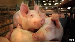 Swine fever does not affect humans but can devastate pig populations. (file photo)