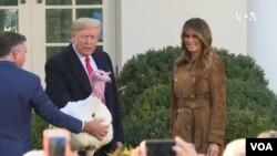 Prezident Donald Tramp noyarın 23-də hind toyuğunu əfv edib. Bu, Şükranlıq bayramının ənənəsidir