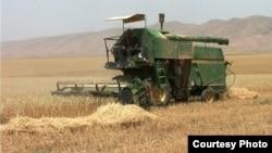 احد حقول القمح في دهوك