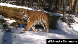 Returning tigers to Central Asia would involve using the Amur tiger from the Russian Far East, a subspecies that is nearly identical genetically to the extinct Caspian tiger.