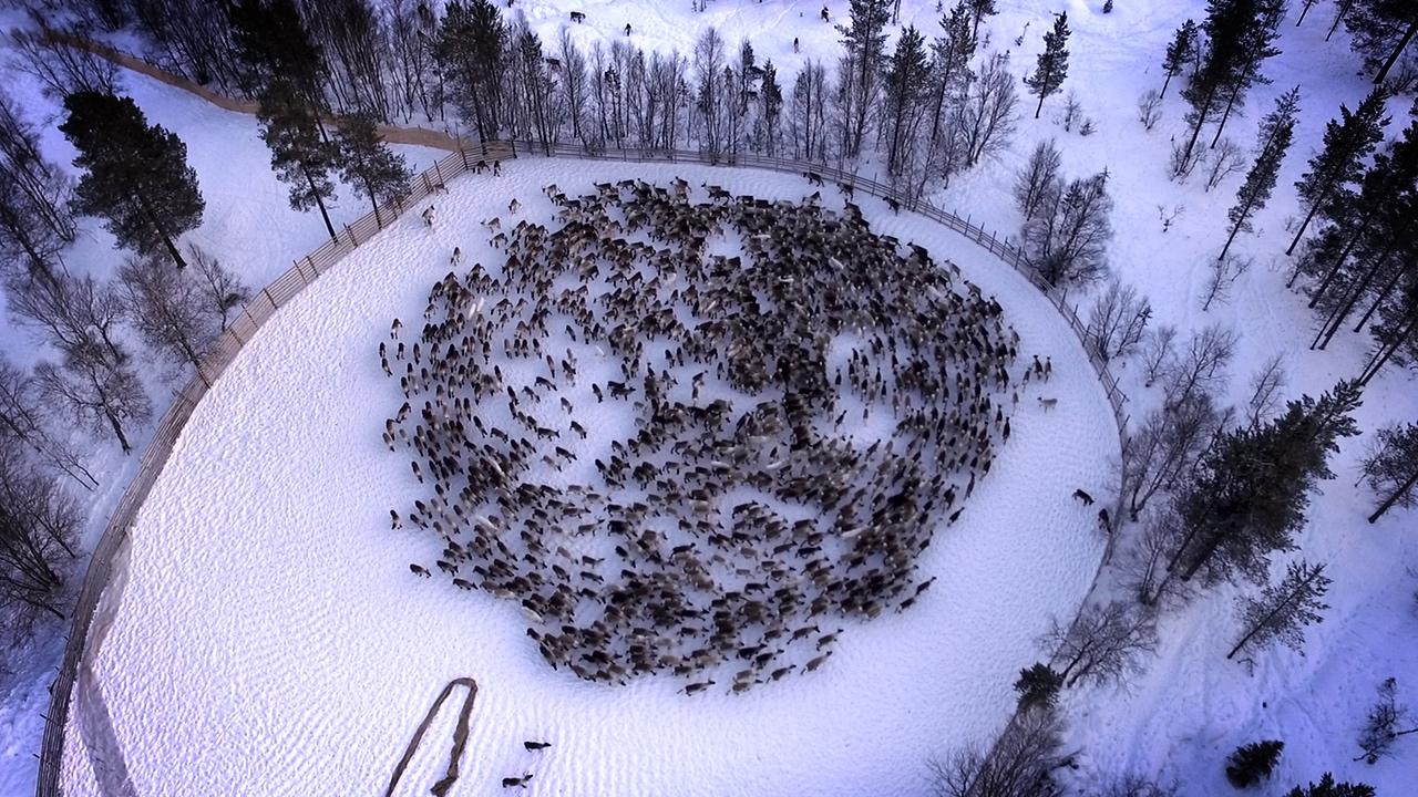 Чернобыльские олени