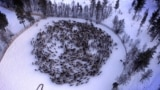Chernobyl's Reindeer - Infographic - Grab 2 of 2