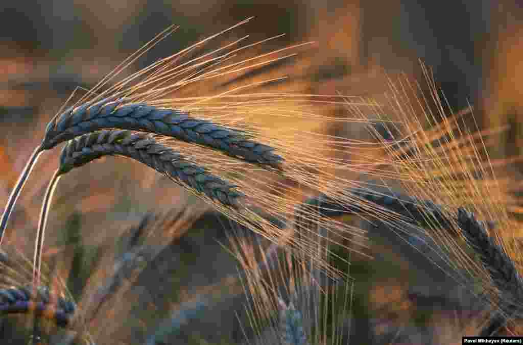 Ears of wheat at sunset in a field in Kazakhstan's Almaty region.
