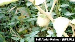 نبتة الداتورا المخدرة