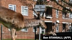 Jeleni u istočnom Londonu ispred stambenih zgrada tokom trajanja karantina zbog epidemije korona virusa