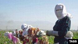 Ўзбекистондаги пахта кампанияси устига ҳукумат кийғизган тантанали ниқоб олиб ташланса¸ унинг ортида буткул бошқа манзара кўрилади.