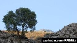 Ýemşen agajy, Çüli jülgesi, Türkmenistan
