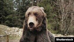 Közelkép egy vadon élő romániai barnamedvéről