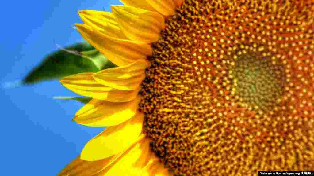 Їх називають сонячними квітами, оскільки протягом дня вони обертаються за сонцем