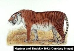 Изображение каспийского тигра.