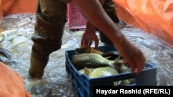 السمك اكلة مفضلة لدى العراقيين