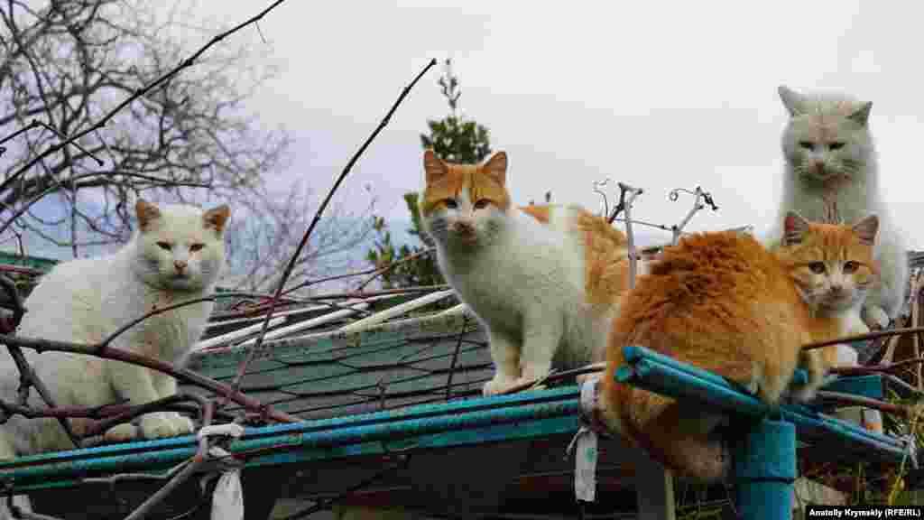 Похоже, в южнобережном поселке наступила пора «кошачьих свадеб»