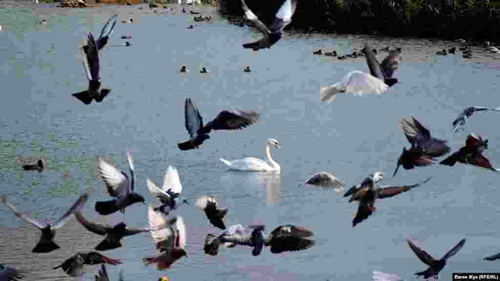 Подплывающий белый лебедь распугал голубей