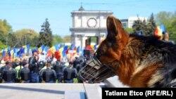 Собака в наморднике на фоне демонстрации в Кишиневе. 24 апреля 2016 года.