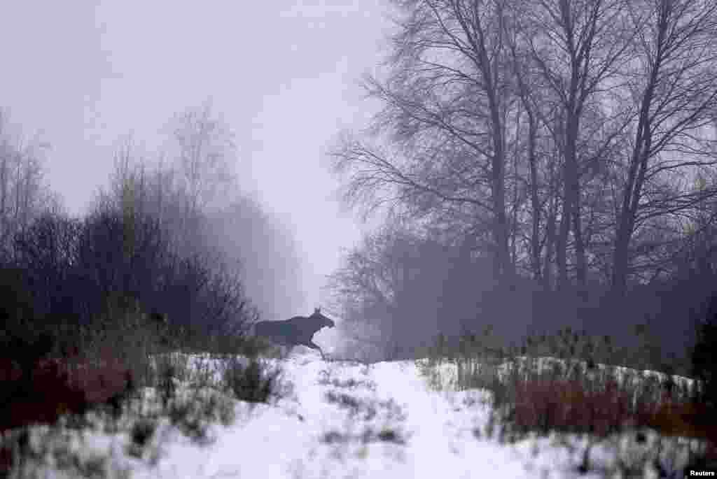 An elk runs near the village of Babchin, Belarus.