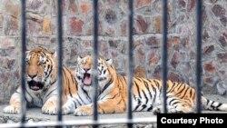 Тигры в зоопарке в Фергане. Фото агентства УзА.