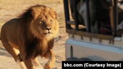 Лев Сесил, убитый в Зимбабве профессиональным охотником из Германии