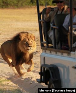 Сесил - самый знаменитый лев Зимбабве