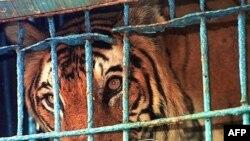 Tigër cirku