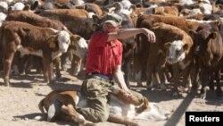 Герефорд тұқымдас тайыншаның үстінде отырған фермер. Астанадан 260 шақырым Мамай ауылы. Қазақстан, 14 маусым 2011 жыл. (Көрнекі сурет)