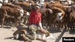 Шаруа қожалығында малмен жұмыс істеп жүрген адам. Мамай ауылы, Ақмола облысы. 14 маусым 2011 жыл. Көрнекі сурет.