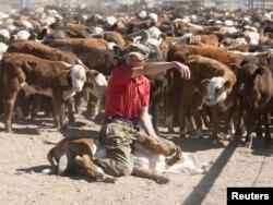 Шетелден әкелінген асыл тұқымды сиырдың бұзаулары. Астана маңы, 14 маусым 2011 жыл. (Көрнекі сурет)