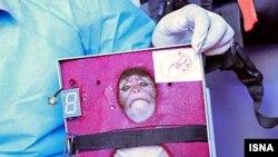 میمونی که به گفته رسانههای داخلی ایران به فضا پرتاب شده و بازیابی شدهاست.