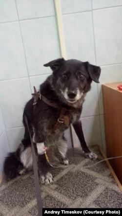 Собака Андрея Тимескова, отравленная догхантерами, выжила только благодаря капельнице