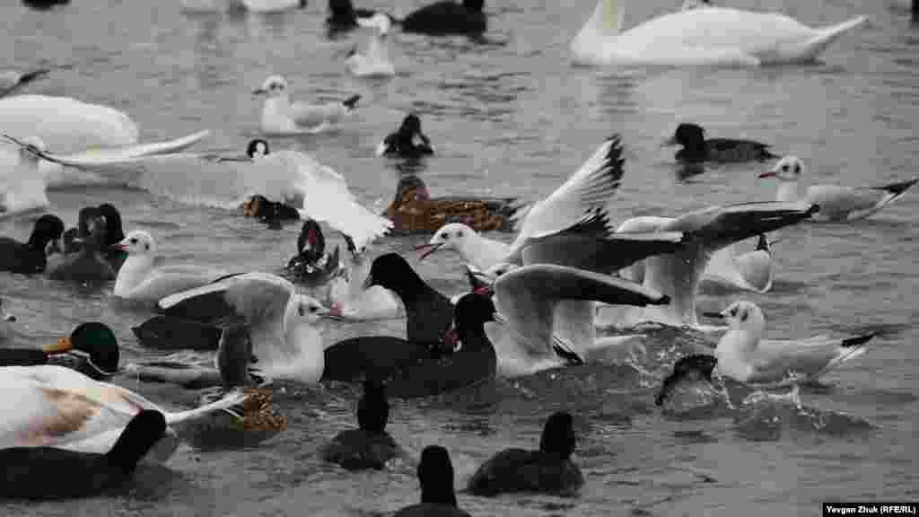 Чайки – любители подраться за еду, даже с целой стаей крякв