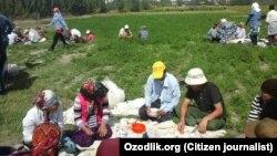 Мақта теріп жүрген өзбек азаматтары. (Көрнекі сурет)
