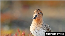 """Находящийся на грани вымирания кулик-лопатень (Чукотка) — предмет пристального внимания любителей birdwatching. [Фото — <a href=""""http://hosebirdwatcher.livejournal.com"""" target=_blank>hosebirdwatcher's blog</a>]"""