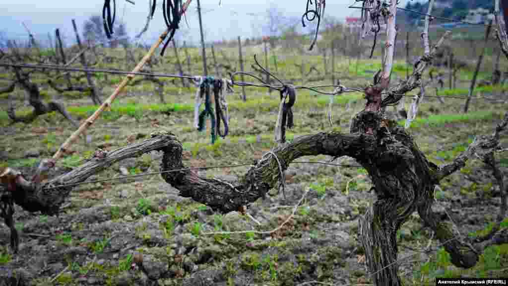 Виноградні поля в Лівадії