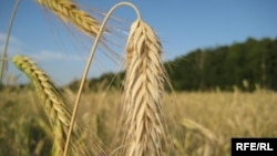 Wheat growing in Ukraine's Chernigov region