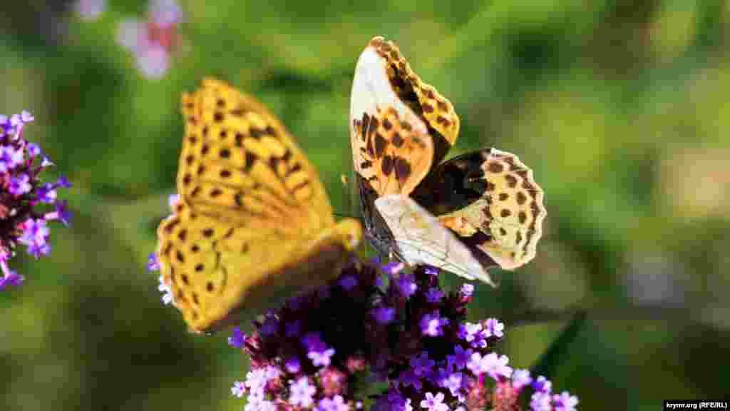 Метелики «осідлали» один квітковий кущ на клумбі Катерининського саду