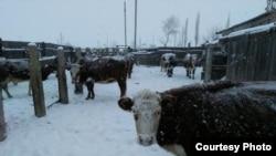 Коровы на подворье Адала Ахмета.