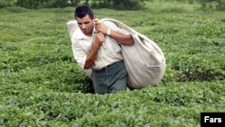 ايران جزو ۱۳ کشوری است که امکان کاشت چای در آن وجود دارد ولی سهمی کمتر از يک درصد در توليد چای جهان دارد.