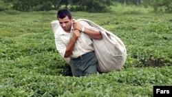 Çay plantasiyası (Arxiv foto)