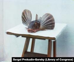 """Egy frissen kifogott morgóhal, vagy ahogy Prokudin-Gorszkij hívta: """"tengeri kakas"""" Batumiban."""