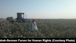 Мақта теріп жүрген адам. Өзбекстан, 12 қыркүйек 2012 жыл.