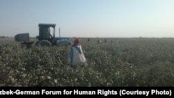 Рабочие на хлопковых полях в Узбекистане. 12 сентября 2012 года.