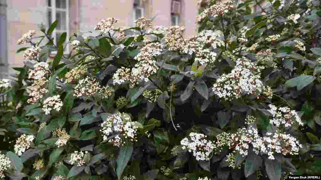 Калина вечнозеленая часто зацветает уже в середине февраля. Калина – растение нежное и даже небольшие морозы для ее цветов смертельны