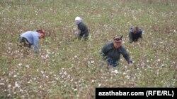 Женщины на уборке хлопка. Лебапская область Туркменистана, 27 октября 2012 года.
