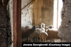 Ostale su samo ovce, koje dovoze na ispašu meštani sa Raba, i zečevi koje uzgajaju za lov stanovnici okolnih ostrva