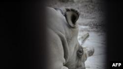در پنج سال گذشته تعداد کرگدن های کشته شده در آفریقای جنوبی از ۱۳ به ۵۸۸ رسیده است