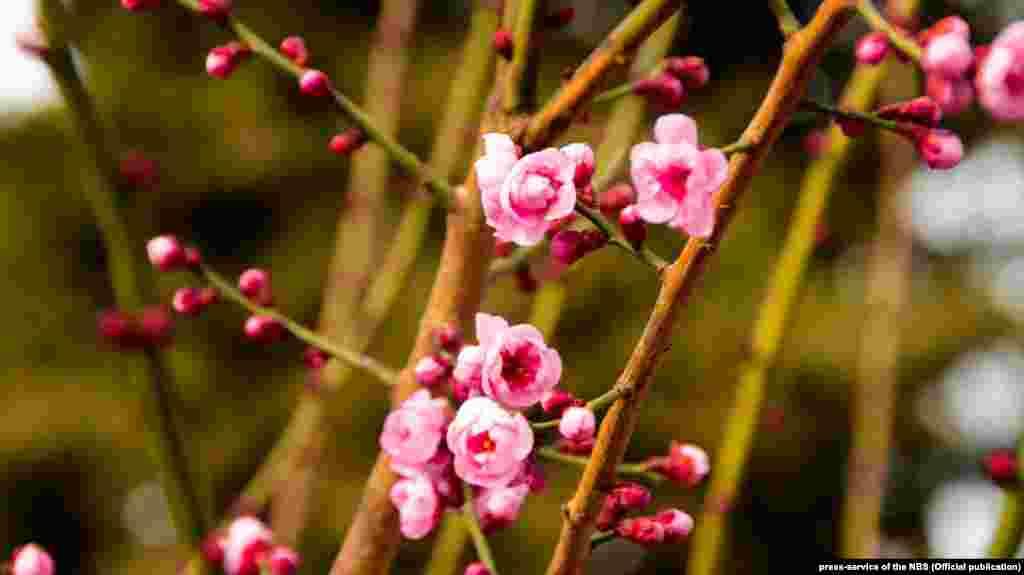 Ярким огоньком горит абрикос Муме и, словно специально для всех влюбленных, цветет миндаль