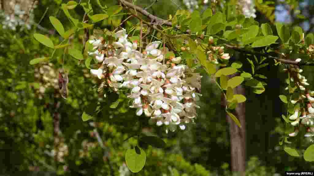 Во время цветения акация испускает характерный аромат, который расходится на десятки метров